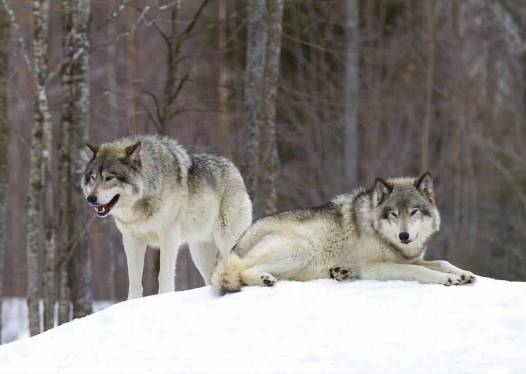 Deux loups dans la neige