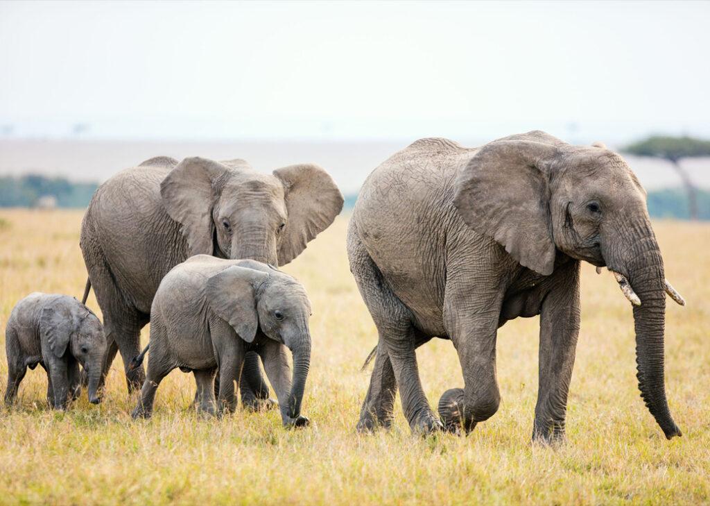 Famille d'éléphant dans la savane