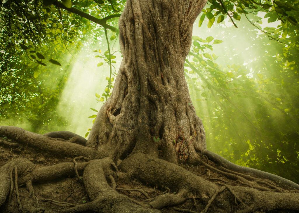 Grand Arbre et ses racines
