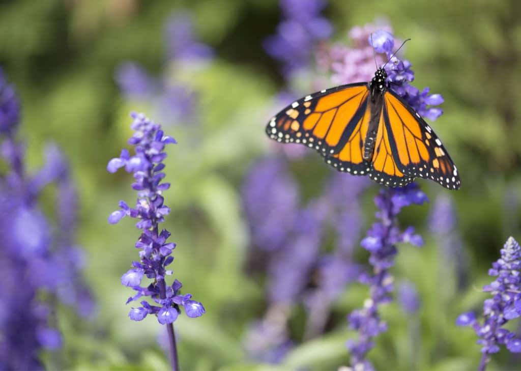 Papillon sur une lavande